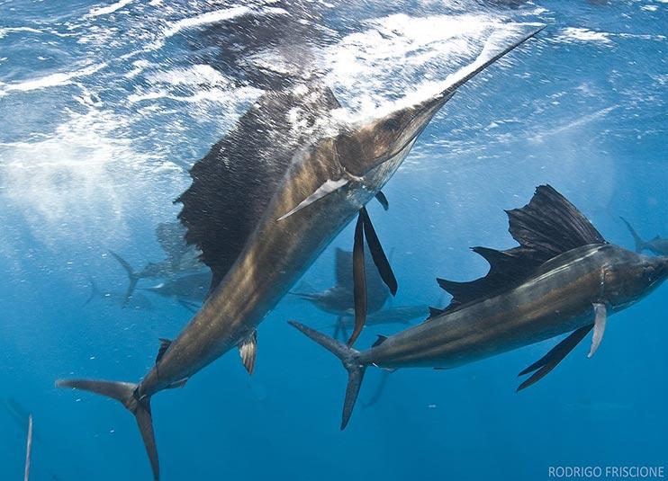 sailfish_snorkeling_2