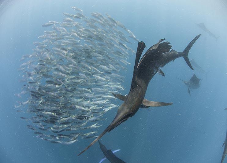 sailfish_snorkeling_5