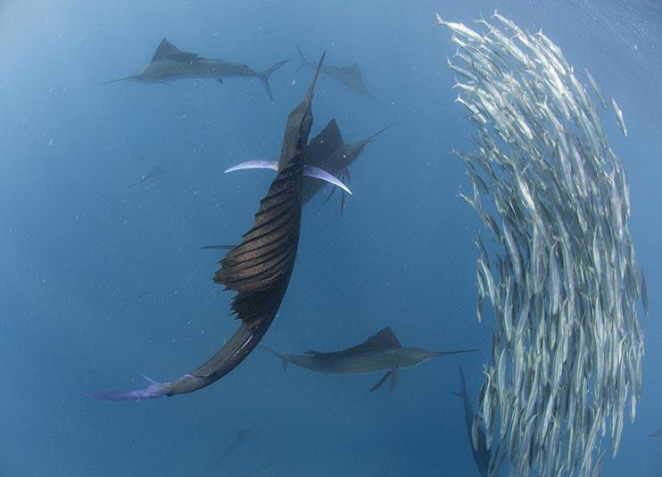 sailfish_snorkeling_6