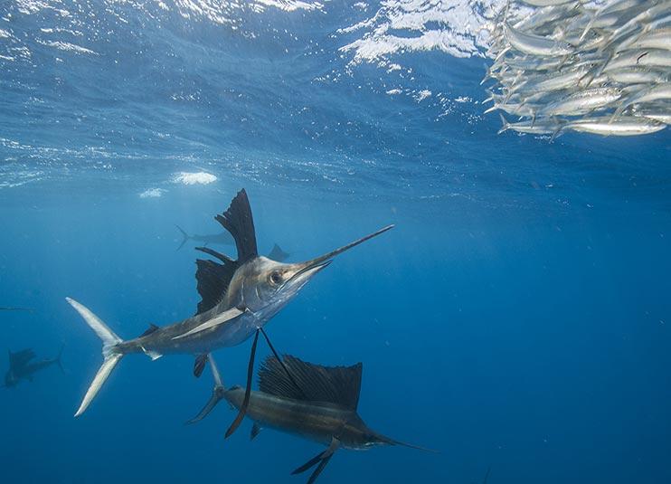 sailfish_snorkeling_7